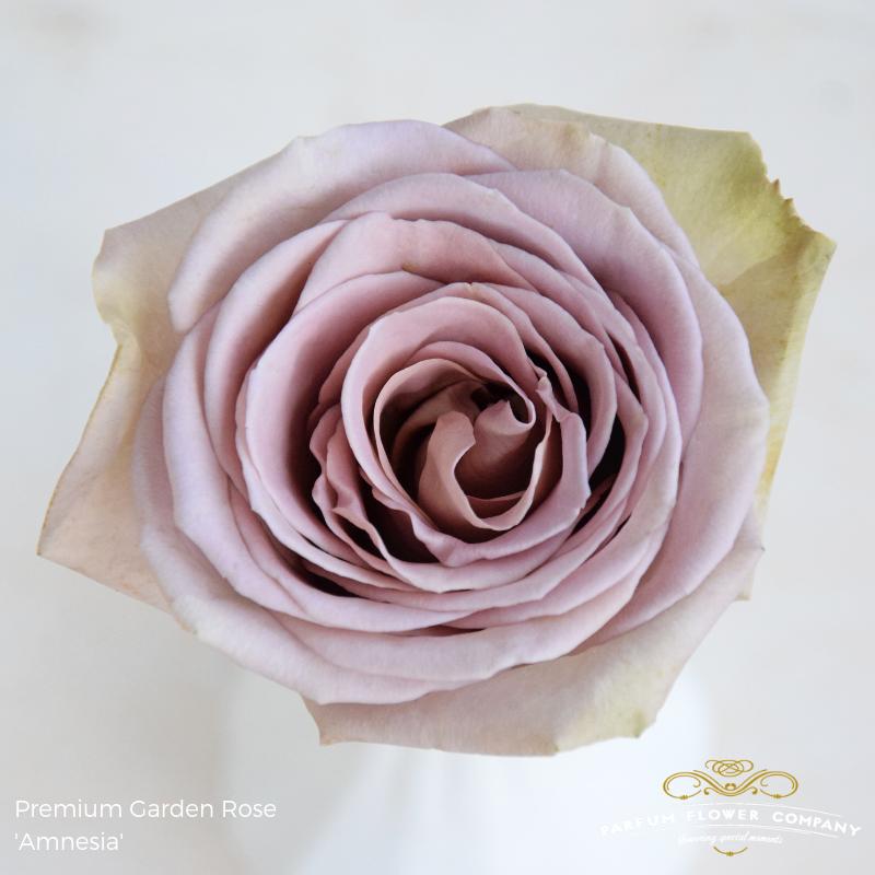 Lavender Roses Amnesia