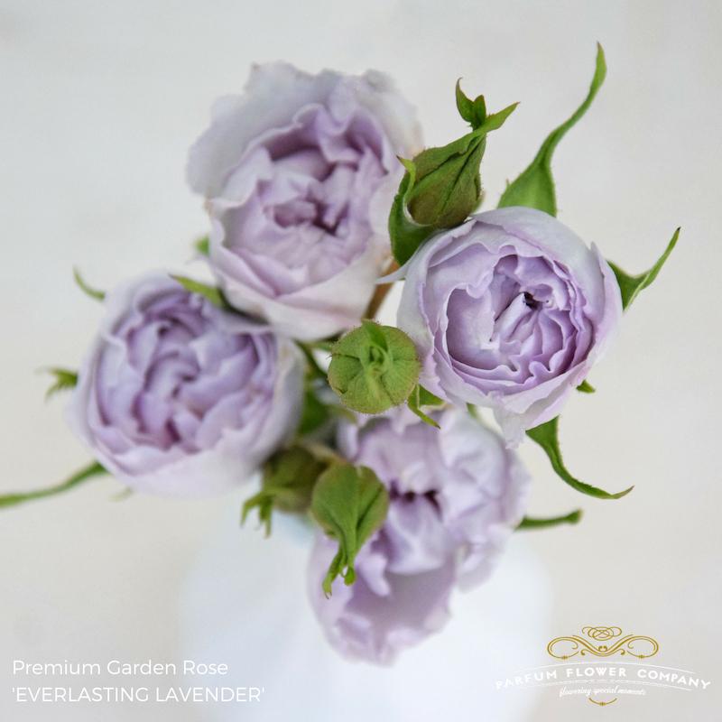 Lavender Roses Everlasting Lavender