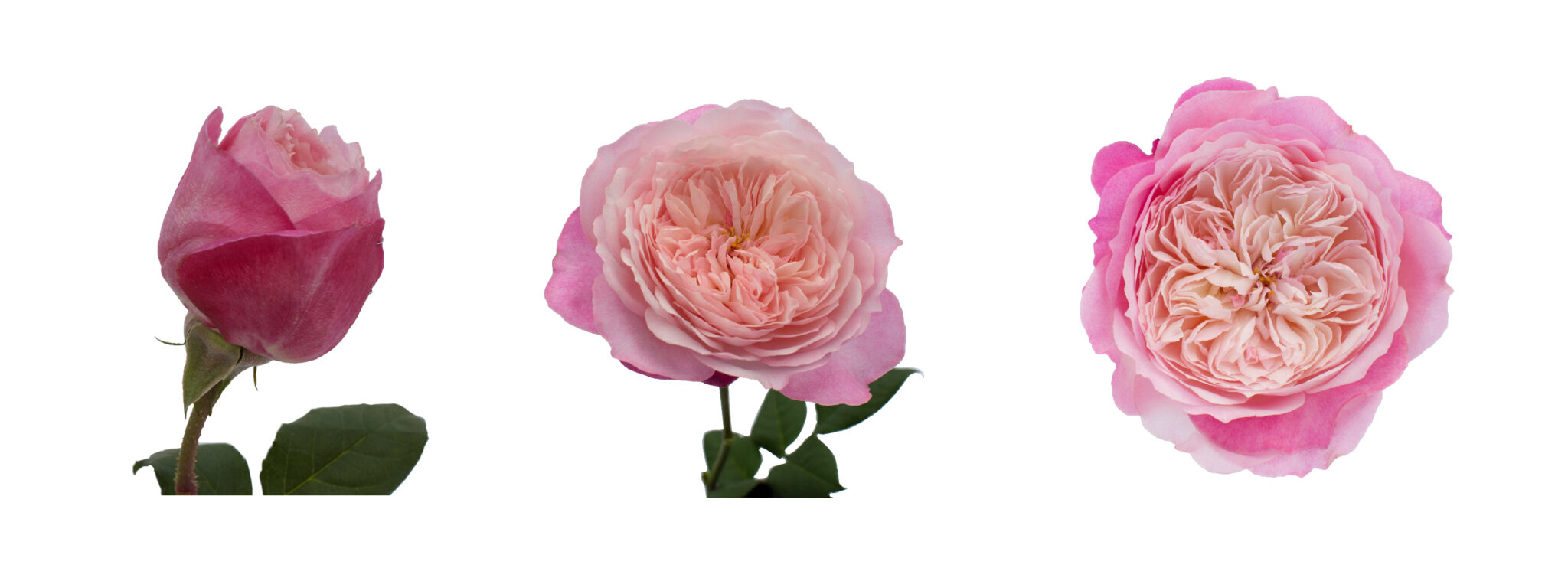 New Video from Bud to Open Bloom David Austin Wedding Roses